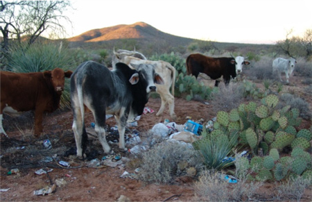 Cows in Illegal Dump