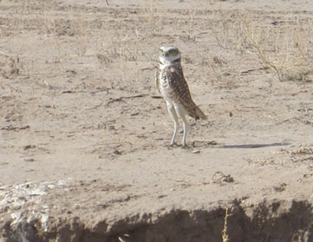 A Burrowing Owl (Athene cunicularia) in the project area