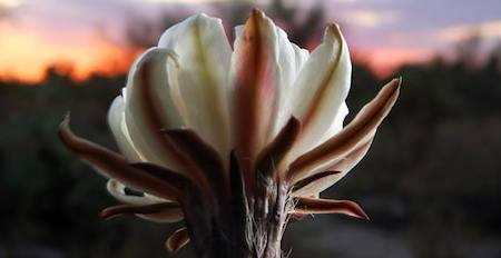 cereus bloom