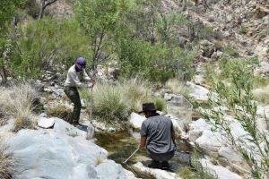 Frog capture in Bullock Canyon