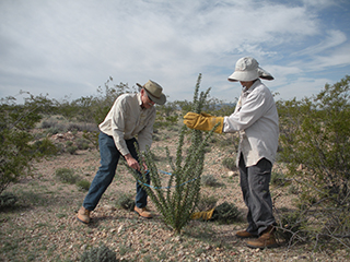 Salvaging an ocotillo