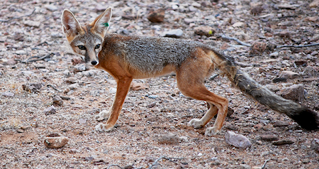 Kit Fox/Photo credit: Andrew Jones, The Wildlife Society
